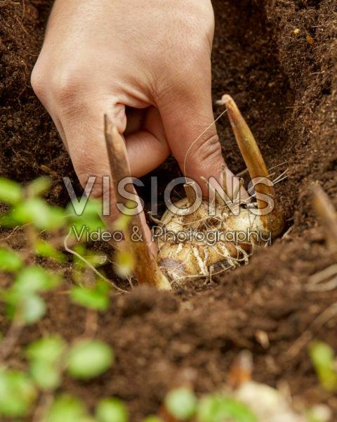 Planting Bletilla