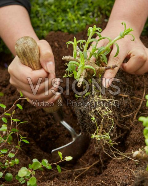 Planting Gypsophila paniculata