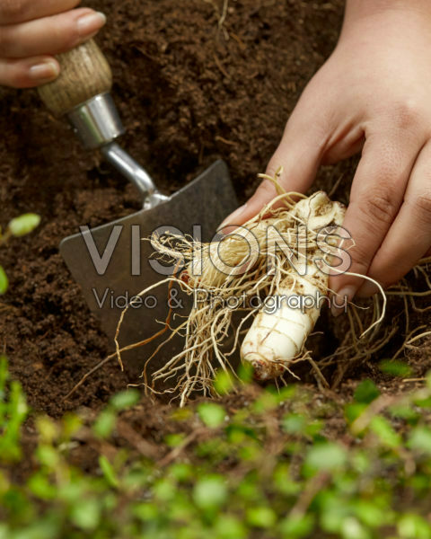 Planting Polygonatum