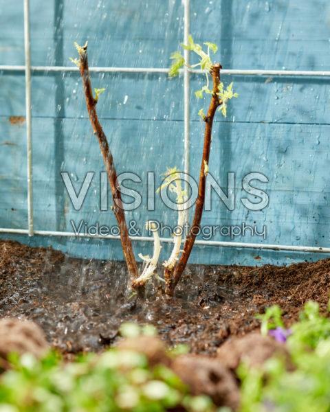 Planting bare rooted Rubus idaeus