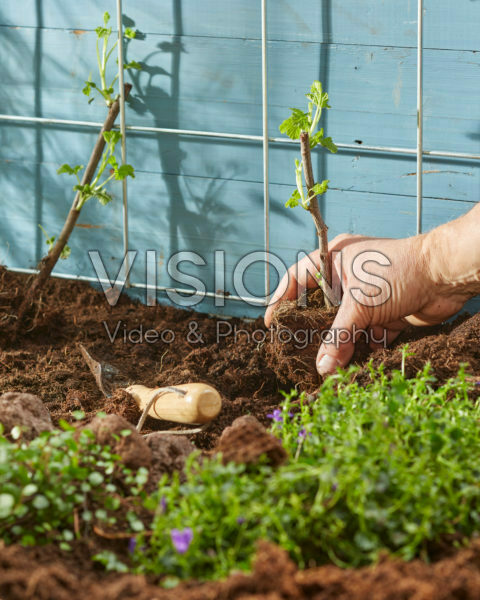 Planting Ribes rubrum