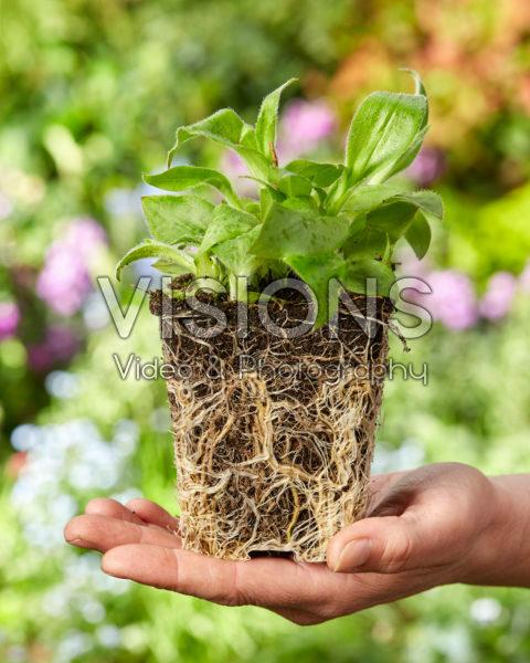 Planting Tricyrtis