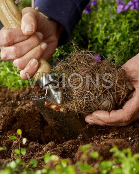 Planting Astilbe japonica Washington