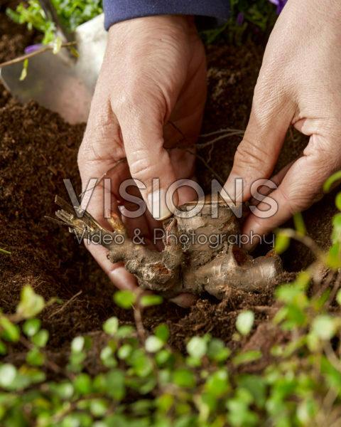 Planting Paeonia