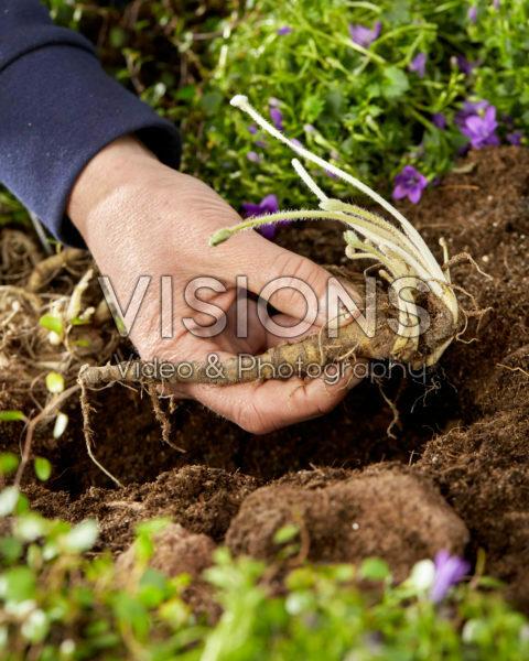 Lupinus planten