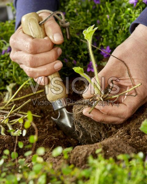 Planting strawberries, Fragaria x ananassa Symphony
