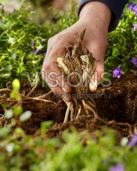 Agapanthus planten