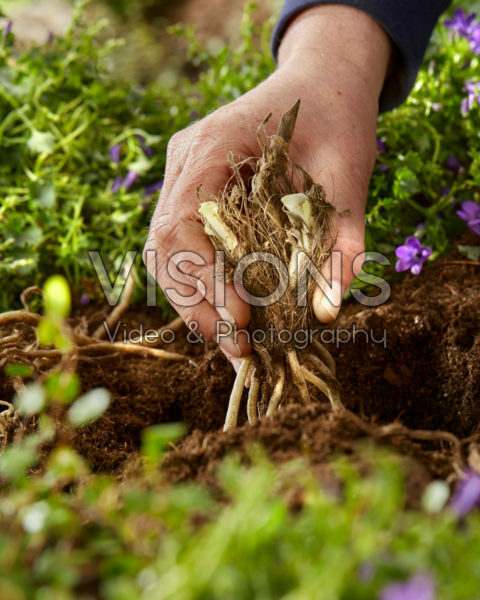 Planting Agapanthus