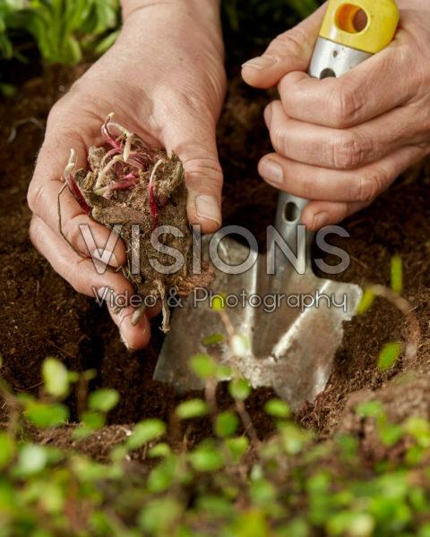 Planting Achillea