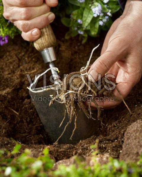 Planting Alstroemeria