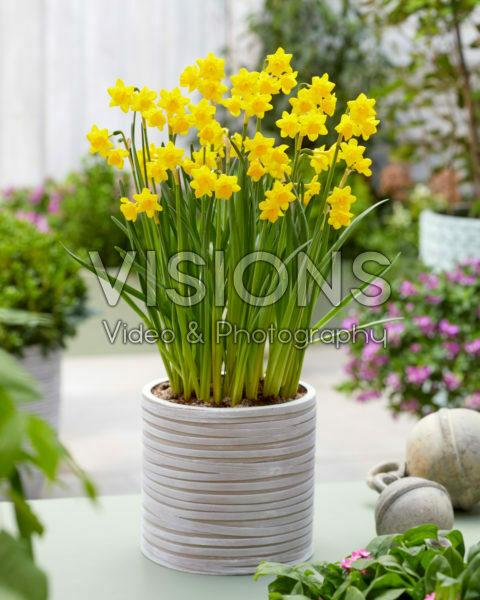 Narcissus PK V1