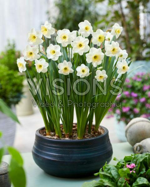 Narcissus PK 1