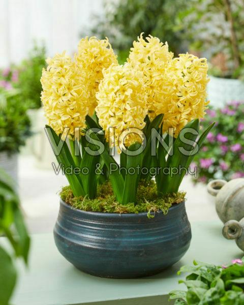 Hyacinthus Golden Crown