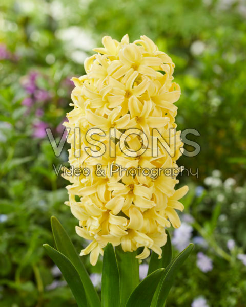 Hyacinthus Golden Crown