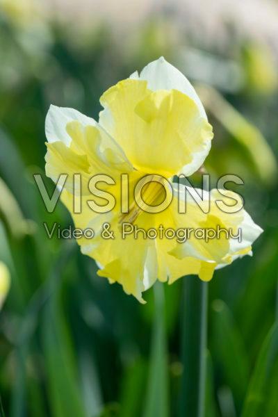 Narcissus Cassata
