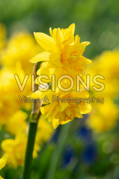 Narcissus Tete Boucle