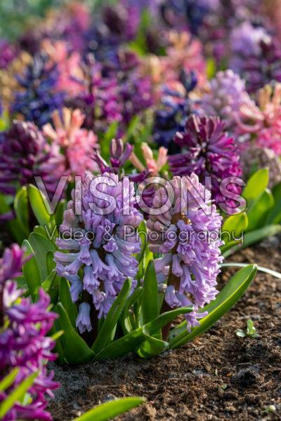 Hyacinthus gemengd