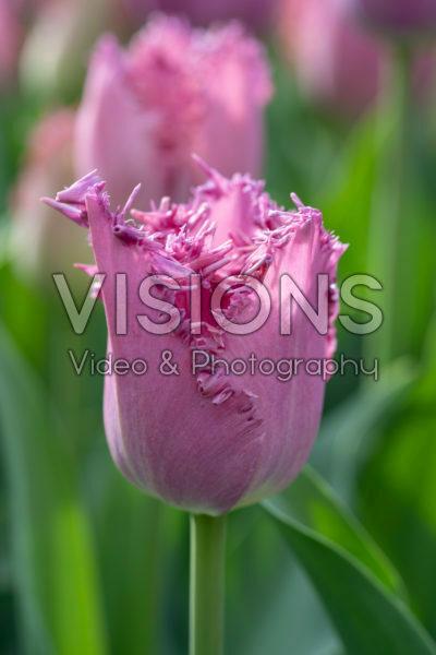 Tulipa Lilac Frizzle