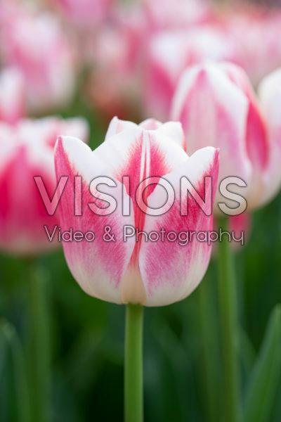 Tulipa Marrero