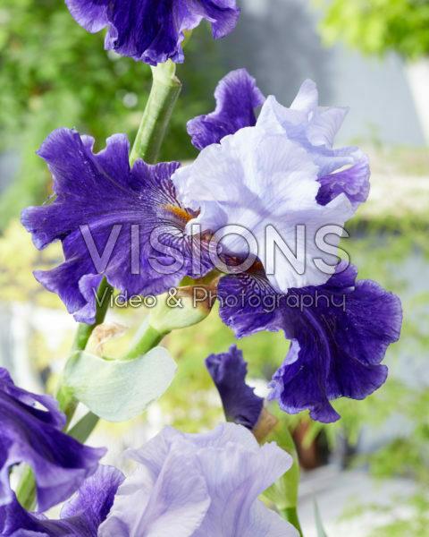 Iris World Premier