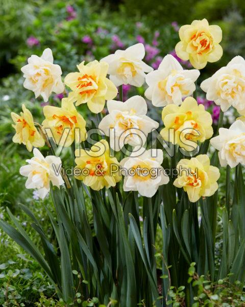 Narcissus Tahiti, White Lion