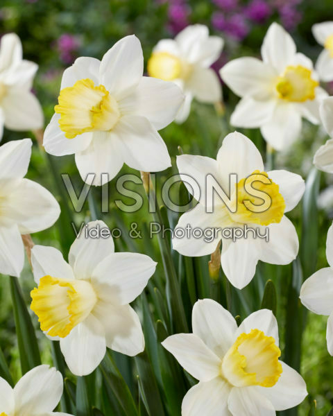 Narcissus Every Day
