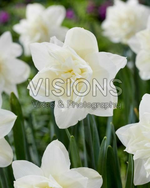 Narcissus White Medal
