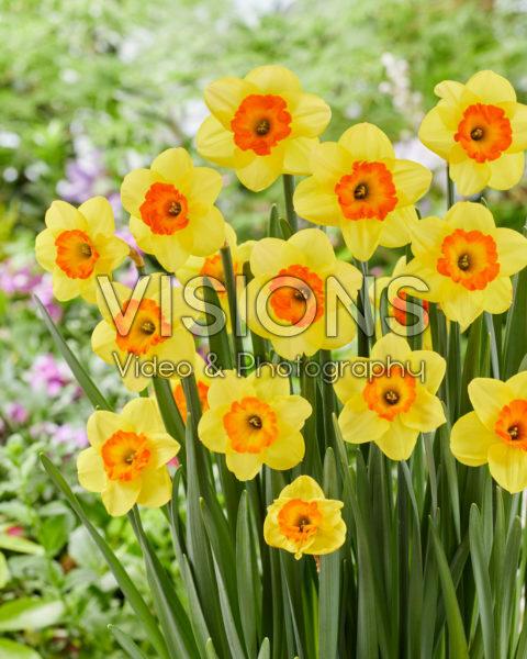 Narcissus Bantam
