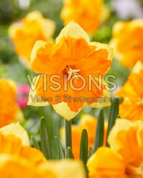 Narcissus 06-247