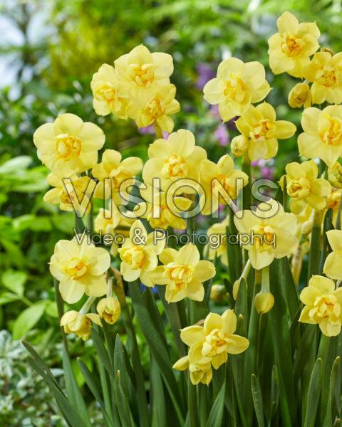 Narcissus Yellow Cheerfulness