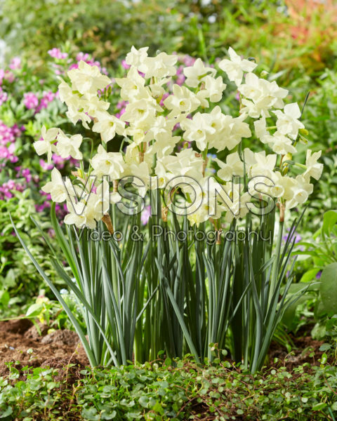 Narcissus Silver Bouquet