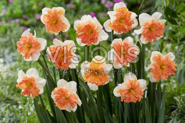 Narcissus Shrike