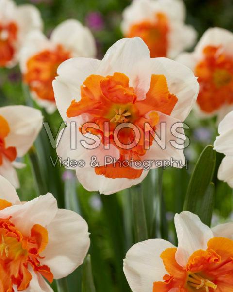 Narcissus Heartbeat