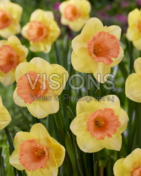 Narcissus Color Magic