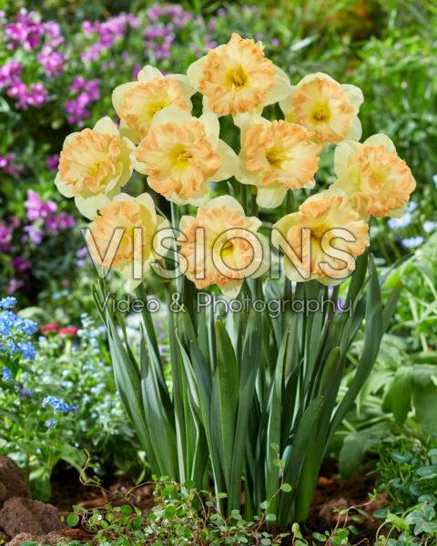Narcissus nr.1