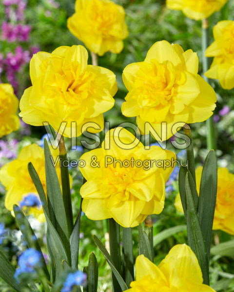 Narcissus nr. 2