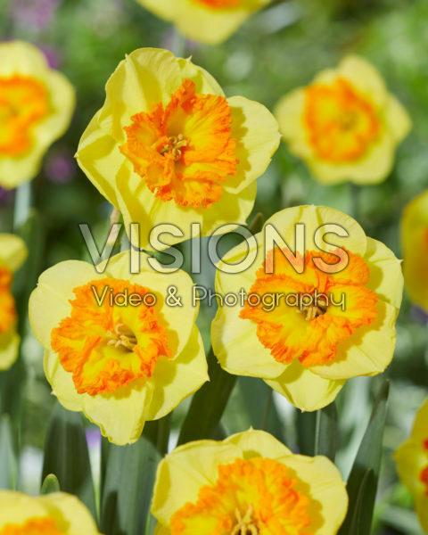 Narcissus Berlin