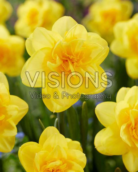 Narcissus Crackington