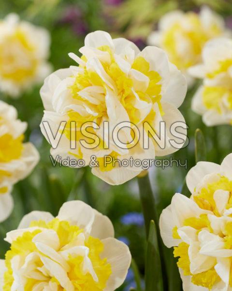 Narcissus Lennart
