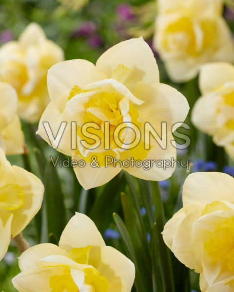 Narcissus Angor