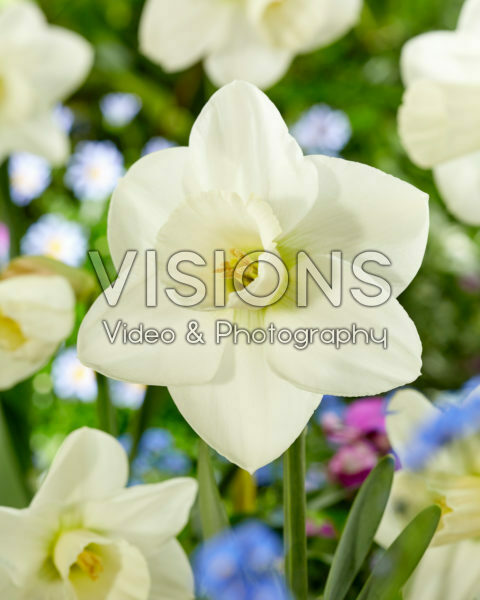 Narcissus Snowboard