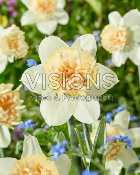 Narcissus Petit Four