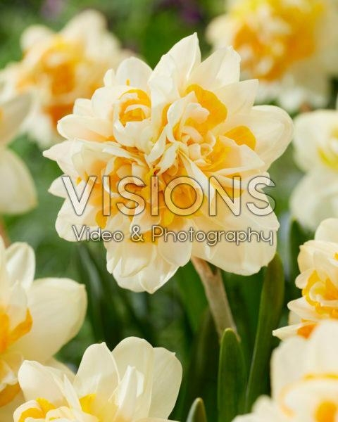 Narcissus Peach Cobbler