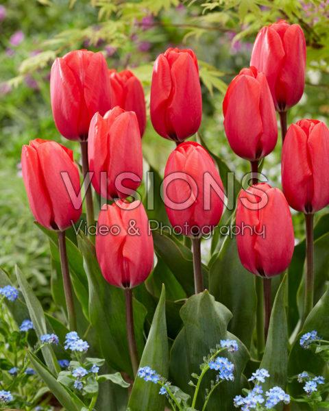 Tulipa Red Ranger