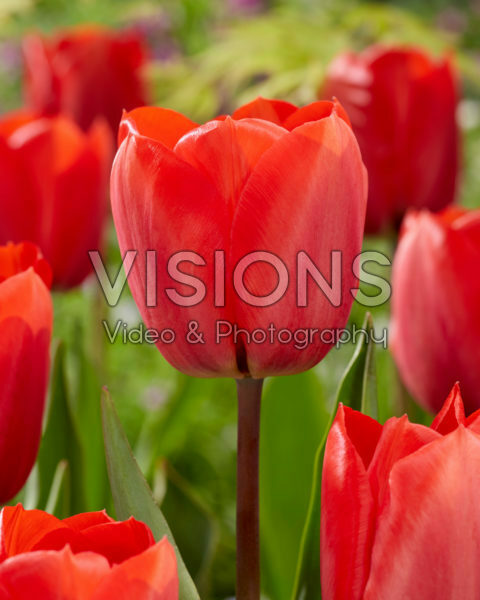 Tulipa Red Soldier