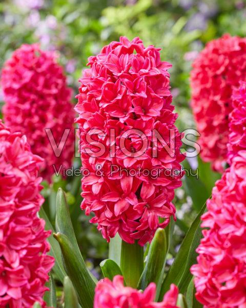 Hyacinthus Amore