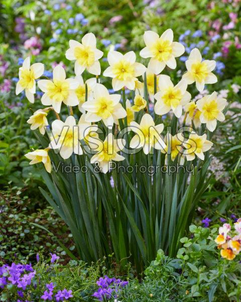 Narcissus Bella Estrella