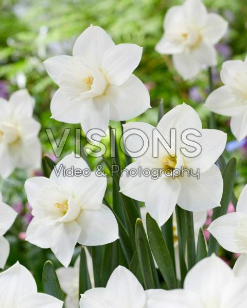 Narcissus Arctic Snow