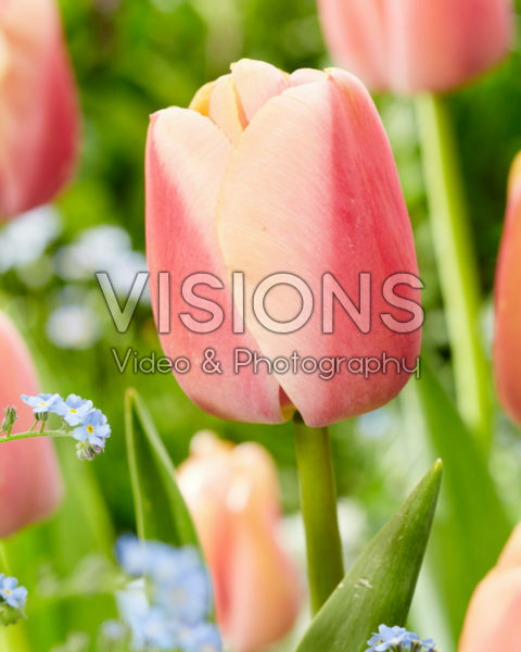 Tulipa Zantuel