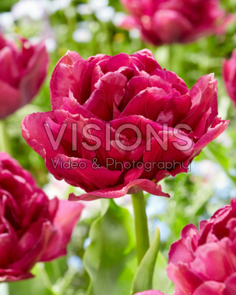 Tulipa Showcase